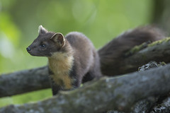 Pine Marten (adamcaird) Tags: brown green nature canon outdoors scotland highlands natural wildlife explore weasel 500mm mustelid explored canon6d canon500mmf4