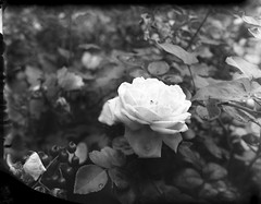Brooklyn Botanic Garden (triebensee) Tags: blackandwhite film brooklyn polaroid iii f45 4x5 linhof largeformat schneider kreuznach xenar 150mm technika flickrphotowalk epsonv700 brooklynian new55pn