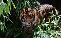 Handsome (IMG_6885) (katalin_kerekes) Tags: tiger sumatrantiger bandar pantheratigrissumatrae smithsoniansnationalzoo