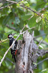 Great Spotted Woodpecker - Picchio rosso maggiore (Andrea Lugli) Tags: italy bird sport canon eos sigma os 150 600 modena northern birdwatching fanano dg appennino appennines hsm 60d settetrionale