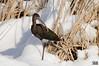 White-faced Ibis (cebuphotographer) Tags: utah antelopeisland whitefacedibis nikoncapturenx nikond300 nikon200500mmf56