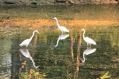 Three plus three (epicDi) Tags: white egrets water reflections three