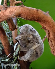 Koalas (lastsonofsteel) Tags: south carolina southcarolina riverbankszoo columbia columbiasc colorful animals reptile snakes lorikeets elephant lion grizzly bear flowers lizard fish hamadryas baboon cobra spitting red koala vanishing point carribean flamingo lsospictures