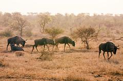 us (milenamphoto) Tags: africa park travel savannah wildebeest kruger sabana manada u