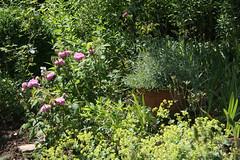 ckuchem-3530 (christine_kuchem) Tags: sommer rosa topf rosen beet blüte garten bunt vorgarten blüten lavendel frauenmantel blumenbeet staude sommerblumen stauden staudengarten naturnah naturgarten ziergarten biogarten gartenstaude
