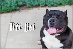 Titi Boi (living_dead_babe) Tags: bully dog breed charity animal woof