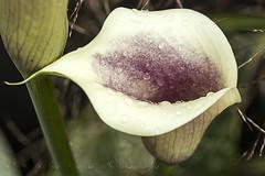 Calla Lily (sue_nurmi) Tags: callalily raindrops rain flower nature outdoor depthoffield