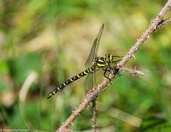 Dragonfly 1 (macdonald.archie) Tags: lochlomond blackandyellow closeup dragonfly forest insect summer wings nikon d610