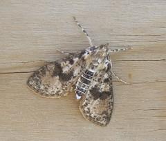 Palpita magniferalis - Splendid Palpita (Stylurus) Tags: michigan lodi township prairie oaks moth palpita magniferalis splendid bugguide bamona