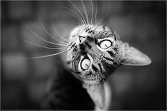 Cat eyes (Passie13(Ines van Megen-Thijssen)) Tags: kat poes cat eyes ogen augen katze animal pet dier tier fineart blackandwhite bw sw zw zwartwit stramproy netherlands inesvanmegen inesvanmegenthijssen