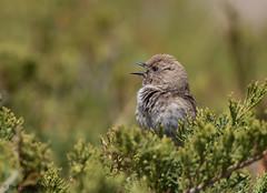 Kozlov's Accentor (Prunella koslowi)   (Purevsuren Tsolmonjav) Tags: mongolianaccentor kozlovs accentor gobi gurvan saikhan national park altai mountain birdsofmongolia birdingmongolia