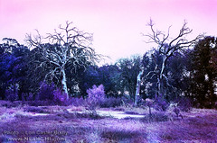 Dem Bonez (Lon Casler Bixby) Tags: loncaslerbixby landscapephotography landscapes neoichi nature naturephotography nikonphotography fineartphotography fineart fineartprints travelphotography texas joshuatexas filmphotography film 35mm purple lomochrome infrared infraredphotography abandoned abandonedbuildings abandonedstructures abandonedhouses trees streetphotography structures streetscapes scapes decay dustbowl burnttrees deadtrees ruraldecay rural americana