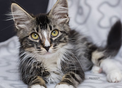 Colby 4 (Brian Snowden Photography) Tags: kitten young cat feline kitty kitteh adorable cute fluffy mainecoonadoptions adoption rescue playful pentaxk3 pentaxda55