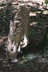 Luchs (c4harry) Tags: chattengau kosystem waldlebewesen kellerwald edersee wildtierpark luchs