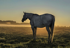 Horse of Another Sunrise (zuni48) Tags: horse equine morning morninglight landscape goldenhour ranch maryland sunrise dawn