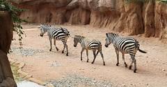 """Das Zebra. Die Zebras. Drei Zebras in einer Reihe. • <a style=""""font-size:0.8em;"""" href=""""http://www.flickr.com/photos/42554185@N00/28793978792/"""" target=""""_blank"""">View on Flickr</a>"""
