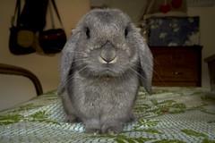 Timoteo (Diego Innocenti) Tags: timoteo rabbit rabbits animal animals hs20 hs20exr face life ariete coniglio conigli coniglioariete small baby