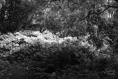 (Maddilly M.G.) Tags: light shadow lumire ombre blackandwhite noiretblanc noir blanc black white nature soleil sun sunny summer t extrieur outside balade leaves feuilles trees arbres nuances shades