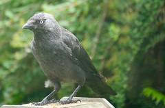 Crow (Smabs Sputzer) Tags: bird corvid