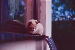 Kitty (doctorspider42) Tags: analog film slide reversal kodak elite chrome elitechrome extra color canon ae1 program