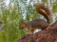 Squirrel (sue2028) Tags: tree california squirrel wildlife fox tail furry garden cute