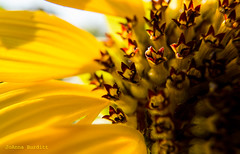 Sunflower (cowgirljo78) Tags: sunflower close seeds yellow