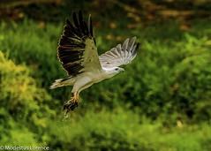 White-bellied sea Eagle (Modestus Lorence) Tags: birdsinflight whitebellyseaeagle singapore canon1dxmarkii greyheadedfisheagle canon500mmf4isii