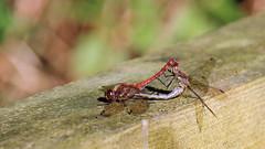 Common Darters Mating (jaytee27) Tags: commondartermating naturethroughthelens