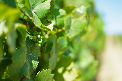 On the Vine (24thcentury) Tags: grapes vine grapevine green depthoffield sonoma
