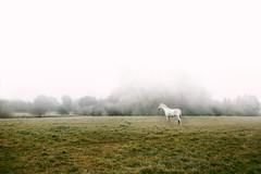Horse (thoma.melanie) Tags: horse fog autumn nature green white foggy light morning sunrise animal pet stallion mist walking view deutschland farm horses