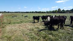 Fenceline Weaning 2 20160929_135951 (uacescomm) Tags: universityofarkansassystemdivisionofagriculture cow calf calves weaning fence fenceline