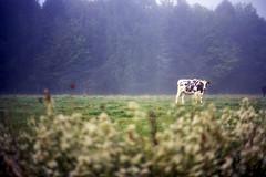 (Patrick J. McCormack) Tags: canon a1 kodak portra film 35mm cow landscape fog vermont autumn fall morning mist