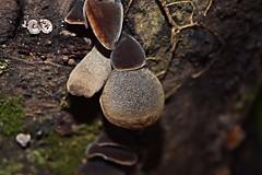 DSC_2625 (Luciano Felipe) Tags: fungo cogumelo fungus mushroom