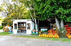 Get ready for spooky jack-o-lanterns  - Explored (Trinimusic2008 -blessings) Tags: trinimusic2008 judymeikle nature fence hff ontario canada pumpkins produce rural princeedwardcounty house trees panasonicdmczs27