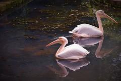 Merry Go Roud (hp2850) Tags: birds wild india northeastindia nikon park aquatic bird