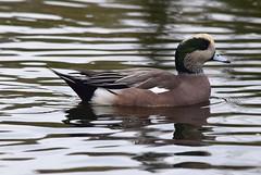 American Wigeon (careth@2012) Tags: wigeon americanwigeon nature wildlife reflection reflections lake ripples specanimal