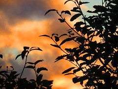05Sep16 Sunset Leaves (Daisy Waring World) Tags: sunset leaves peach apricot