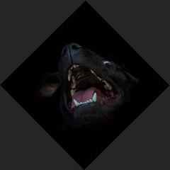 Tummy Rub (fjnige) Tags: animal dog labrador portrait nikon d7100 sigma