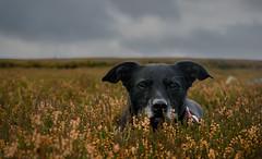 In The Heather (Will Gell) Tags: archie dug dog lammermuir hills pet animal moors borders scotland nikon d7000 1770mm will gell sigma byrecleugh pyatshaw