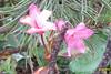 Mystery plant (Heiterwanger See) (davidshort) Tags: wildflowers 2014 tryol heiterwang heiterwangersee