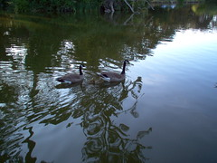 (sftrajan) Tags: 2005 sanfrancisco california goldengatepark park parque lake bird swimming lago geese pond goose canadageese stowlake kanadagans anatidae bernacheducanada barnaclacanadiense
