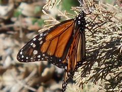monarch butterfly , st Julian, Malaga 9 Nov 2014 (ecology_garden) Tags:
