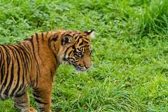 Sumatran Tiger Cub - Flamingo Land September 2014 (patrick-walker) Tags: canon eos cub yorkshire tiger north patrick walker 7d sumatran flamingoland canon7d