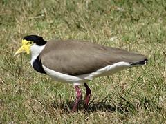 A plover (pat.bluey) Tags: birds ngc australia npc newsouthwales 1001nights coth fantasticnature alittlebeauty 1001nightsmagiccity sunrays5 littlelakewarilla