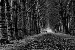 Lane (robvanderwaal) Tags: autumn trees bw tree nature netherlands forest blackwhite bomen zwartwit herfst nederland natuur boom lane bos laan zw 2014 voorne rvdwaal robvanderwaalphotographycom