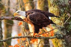 A Watchfull Eye (sdl39hogger) Tags: eagle baldeagle raptor haliaeetusleucocephalus birdofprey nationalgeographic wildlifenorthamerica nationalwildlifefederation photoofthedaynwf14