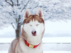 DSCN8841 (demilflowe) Tags: trees winter light red portrait dog pet snow cold tree cute dogs nature animal animals pose season fur fun nose photography photo cool model nikon husky funny soft photos bokeh covered siberianhusky lookatme siberian breed collar northern playful snownose