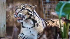 20150222 5DIII Panther Ridge 242 (James Scott S) Tags: wild cats canon scott james big feline dof unitedstates florida conservation s center ridge ii wellington l cheetah fl jaguar panther 70200 f28 ef lr5 5diii