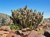hoodia - near rosh pinah, namibia 3 (Russell Scott Images) Tags: namibia succulentplant hoodia asclepiadoideae russellscottimages