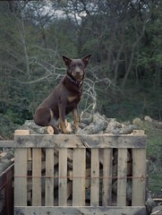 Postcards From Norris, 2014 (Diarmuid McDonald) Tags: dog fuji kodak farm fujifilm medium format portra isle wight kelpie
